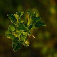 Ветки и листочки... :: Артём Бояринцев