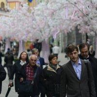 цветение сакуры в Москве :: Дмитрий Паченков