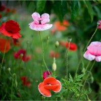 poppies-10 :: yameug _