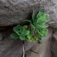Каменный цветок :: Lyusine Ignatova