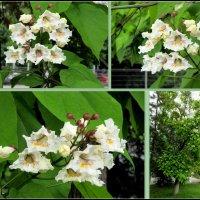 Катальпа (макаронное дерево) :: Нина Бутко