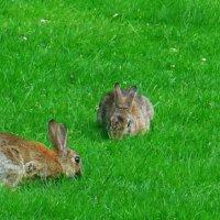 Городские зайцы косят траву. :) :: Nina Yudicheva