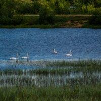 Лебеди,белые лебеди.2016 :: Артём Бояринцев