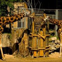 жирафы :: Anrijs Slišāns