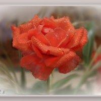 Коралловые розы - розы счастья, как будто бы на рифах вырастают... :: Людмила Богданова (Скачко)