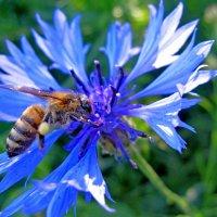Пчелка вся в трудах :: Ростислав