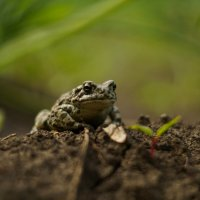 Маленькая жаба :: Саша Тарасов