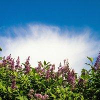 Сирень и облако :: Виталий