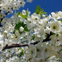 Торн цветёт :: Владимир Ростовский