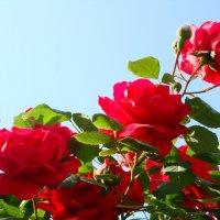 розы в мамином саду :: Светлана