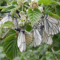 Нашествие бабочек :: Ольга
