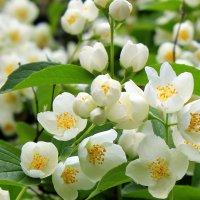 Белеют в зелени жемчужные цветы. :: Валентина ツ ღ✿ღ