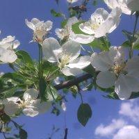 Цветущая яблоня :: Андрей Нелюбов