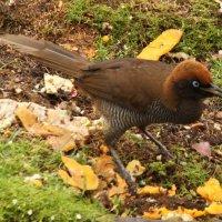 Райская птица.Папуа Новая Гвинея. :: Антонина