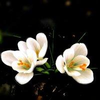 первоцветы :: Евгения Eva