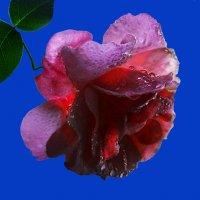 Роза по фото Людмилы Богдановой :: Владимир Хатмулин
