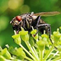 Пошла муха за нектаром... :: Alexander Andronik
