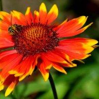Гайлардия - цветок с легендой :: Ирина Falcone