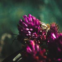 Клевер с пчелкой :: Рамиль Ахметов