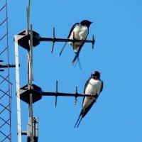 ласточки :: linnud
