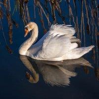 Белый лебедь :: Светлана Щербакова