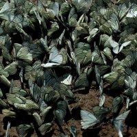 Бабочки :: Дмитрий Арсеньев