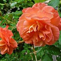 Шипы и розы... :: Galina Dzubina
