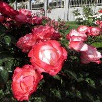 Роза – символ совершенства :: Наталья Джикидзе (Берёзина)