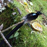 Райская птица 2.Папуа Новая Гвинея :: Антонина