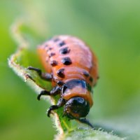 Колорадский жук :: Олег