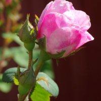 Розовый бутон... :: Тамара (st.tamara)