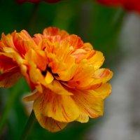 Оранжевое чудо! :: Ирина Безверхова