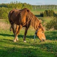 Конь на лужайке :: Марат Зангиров