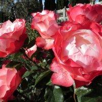 О роза! Королева сада! :: Наталья (D.Nat@lia)