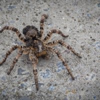 Южнорусский тарантул с паучатами :: Serg Koren