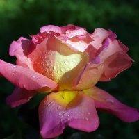 Роса на розе :: Олег Шендерюк