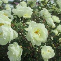 Белое нежное очарование и аромат. :: Valentina