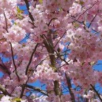 Цветение сакуры :: Larisa Freimane