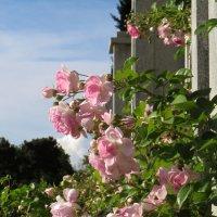 Нас розы нежный аромат,манит в мечтательные дали. :: Наталья (D.Nat@lia) Джикидзе (Берёзина)