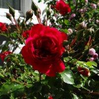 Розы у дома.. :: Антонина Гугаева