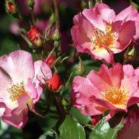 Три розы :: Олег Шендерюк