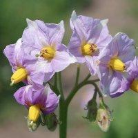цветы картошки :: юрий иванов