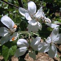 Яблоня в цвету. :: Мила Бовкун