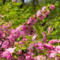 весеннее цветение :: Дмитрий