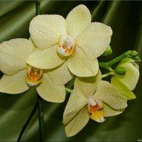 Фисташковая орхидея :: °•●Елена●•° Аникина♀