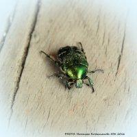 Майский жук зеленый :: Наталья Солнышко