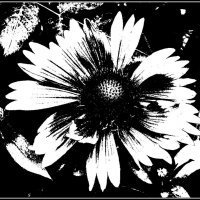 Чёрно-белая метаморфоза гайлардии :: Нина Корешкова