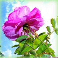 Смотрит роза в небо.. :: Андрей Заломленков