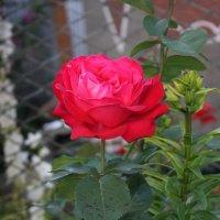 Роза :: shabof
