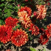 В июне хризантемы... :: Тамара (st.tamara)
